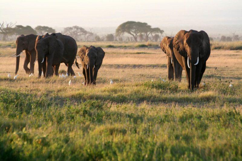 アフリカ象の画像